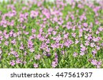 pink flowers tar silene pendula ... | Shutterstock . vector #447561937
