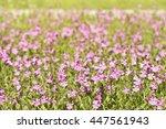 pink flowers tar silene pendula ...   Shutterstock . vector #447561943