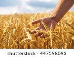 wheat sprouts in a farmer's...   Shutterstock . vector #447598093