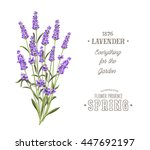 bouquet of aromatic lavender... | Shutterstock .eps vector #447692197