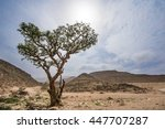 Frankincense Trees In Salalah ...