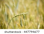 ears of young wheat and wheat... | Shutterstock . vector #447794677