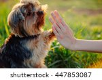 Yorkshire Terrier Gives Paw Hi...