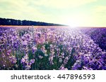lavender flowers lilac nature...   Shutterstock . vector #447896593