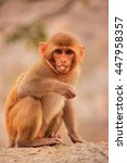 Young Rhesus Macaque  Macaca...