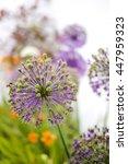 Allium Jesdianum Akbulak About...