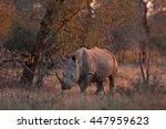 White Rhinoceros  Square Lippe...