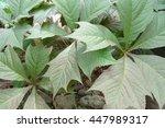 Rodgersia Podophylla   Japan  ...