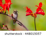 female or immature rufous... | Shutterstock . vector #448015057