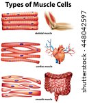 diagram showing types of muscle ... | Shutterstock .eps vector #448042597