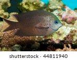 Small photo of Fish Spiny Chromis (Acanthochromis polyacanthus) in Aquarium