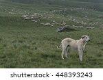 Livestock Guardian Dog Guardin...