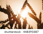 wheat field on sunset | Shutterstock . vector #448393387