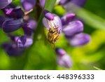 A Bee Pollinates Lupine. Macro...
