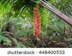 Bright Red Heliconia Rostrata...