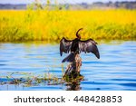 African Cormorant Dries Its...