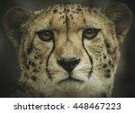 Cheetah Head Shot