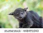 binturong or bearcat  arctictis ... | Shutterstock . vector #448491043