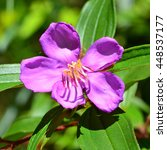 Small photo of Malabar melastome (Indian rhododendron) flower