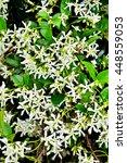 the white climber star jasmine...   Shutterstock . vector #448559053