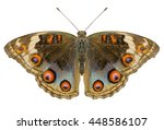 Buckeye Butterfly With Open...