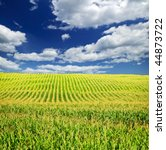 Agricultural Landscape Of Corn...