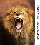 Close up of African Lion roaring with mouth wide open - stock photo