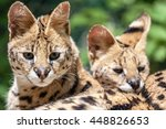 serval young  leptailurus... | Shutterstock . vector #448826653