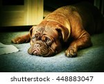 Big Dog   Dogue De Bordeaux  ...