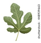 Fig Leaf Is Isolated On The...