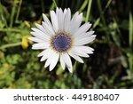 "Small photo of White ""Blue-eyed African Daisy"" flower (or Silver Arctotis, Kusgousblom) in Zurich, Switzerland. Its Latin name is Arctotis Venusta (Syn Arctotis Grandis), native to South Africa."