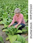 Small photo of Farmer or agronomist examine tobacco plant field