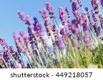 lavender field   flowers | Shutterstock . vector #449218057