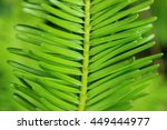 Small photo of Grand Fir (Abies grandis) needles closeup