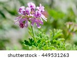scented geraniums   rosette ... | Shutterstock . vector #449531263