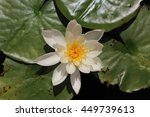 "Small photo of ""American White Waterlily"" flower (or Beaver Root, Fragrant White Water lily) in Zurich, Switzerland. Its Latin name is Nymphaea Odorata Aiton Turicensis."