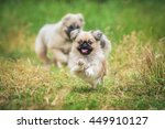 Happy Pekingese Dog Running In...