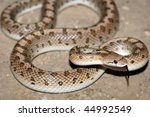 A common desert glossy snake in California - stock photo