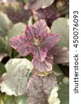 Small photo of Bugleweed's colorful leaves (Ajuga reptans cv 'burgundy glow')