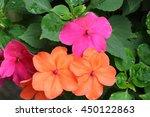colorful impatients | Shutterstock . vector #450122863