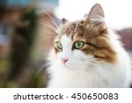 Norwegian Cat Portrait In...
