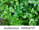 parsley growing | Shutterstock . vector #450836797
