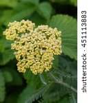 Small photo of Achillea, Achillea millefolium, flowering plants. Family Asteraceae.