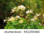 Small photo of Albizzia kalkora, or julibrissin (Persian silk tree) flowers