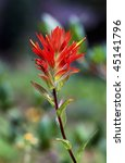 Colorful Indian Paintbrush