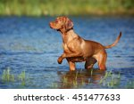 Beautiful Vizsla Dog Standing...