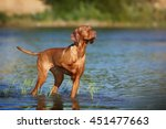 Beautiful Vizsla Dog Standing...