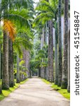 Avenue Of Tall Royal Palm Tree...