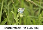 Small photo of Butterfly in the meadow. Amanda's Blue (Polyommatus Amandus)