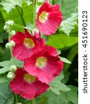 Small photo of Red, Alcea rosea is an ornamental plant in the Malvaceae family.